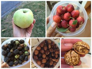 Apple, crabapple and black walnuts are ready to be picked in September!
